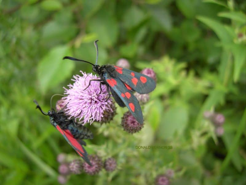 Burnet moth on thistle.