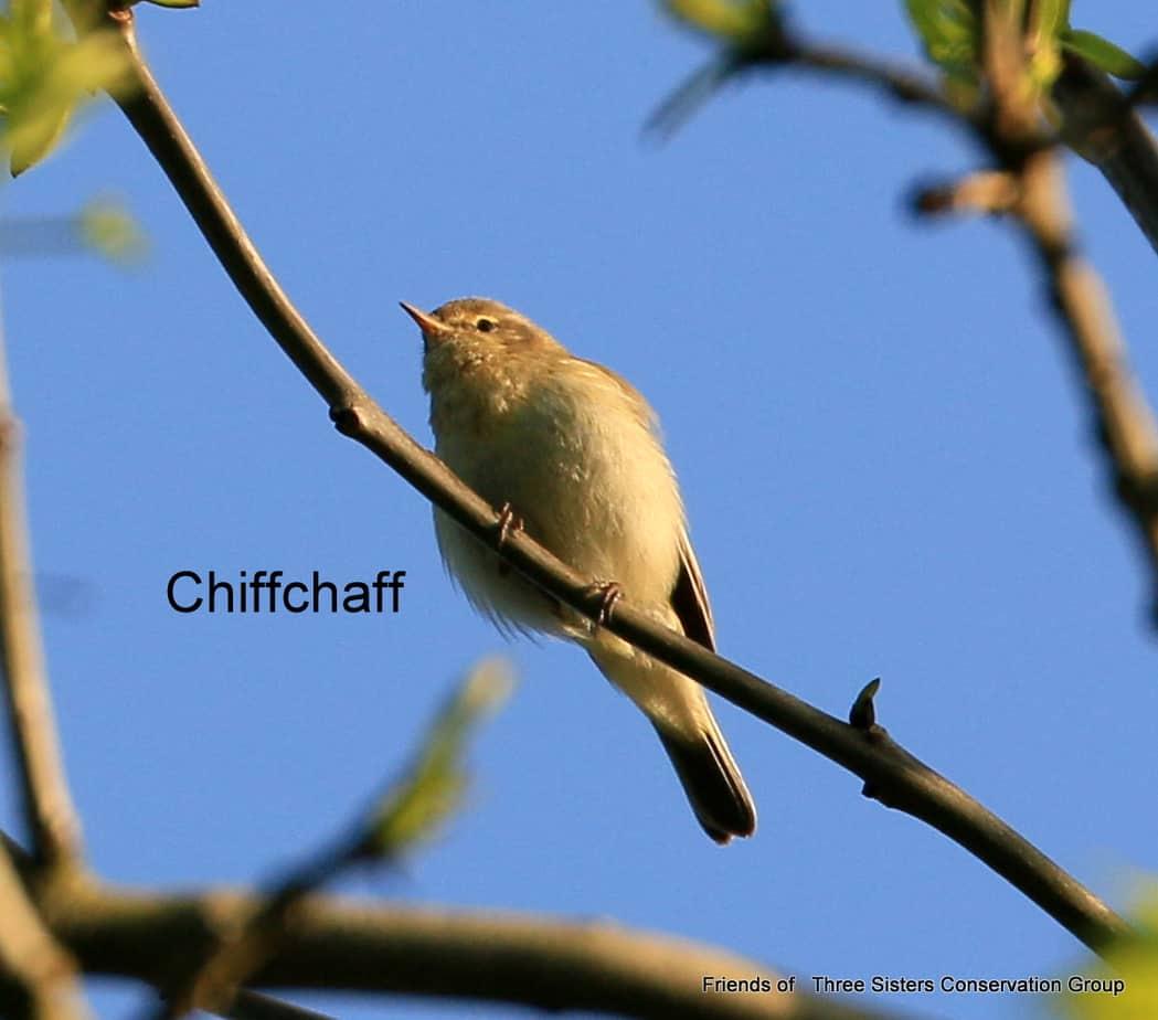 Chiffchaff