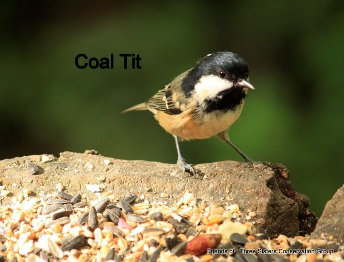 Coal Tit