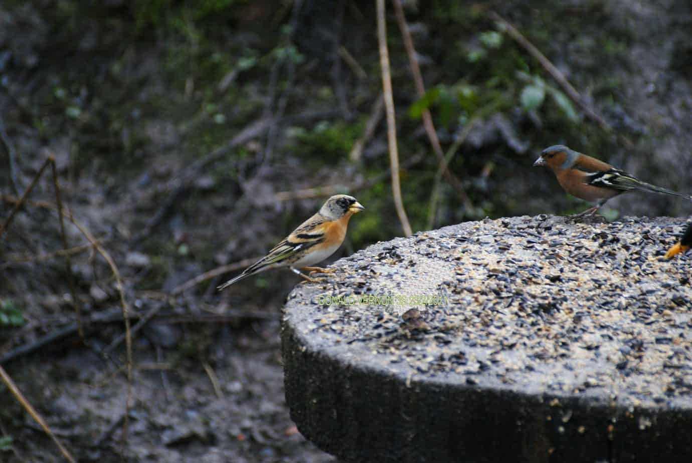 Chaffinch and Brambling.