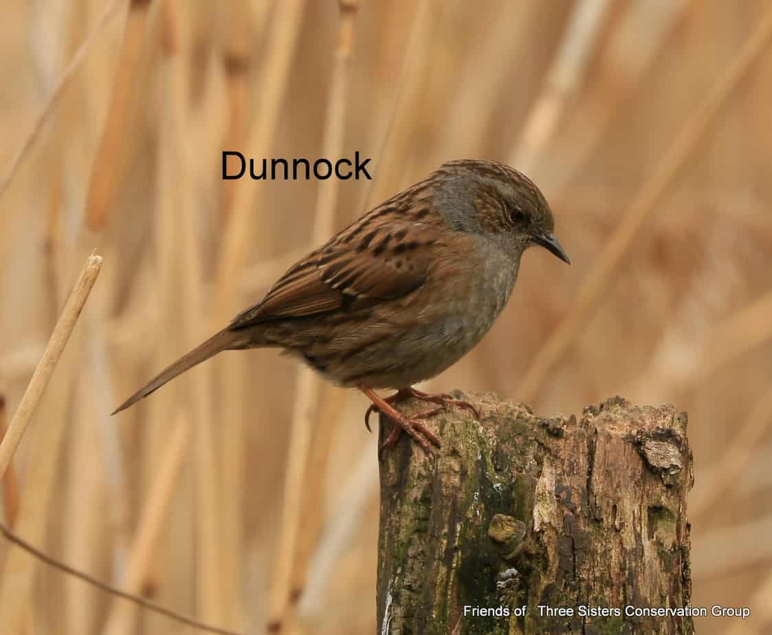 Dunnock on post