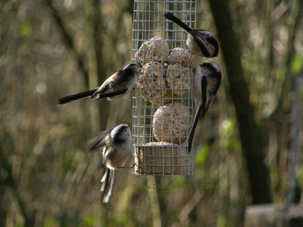 Flock of Longtailed Tits feeding.
