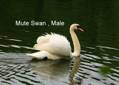Mute Swan, male