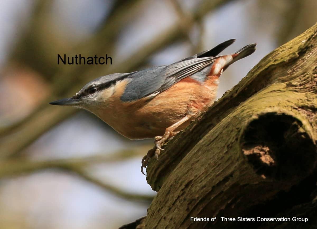 Nuthatch 2