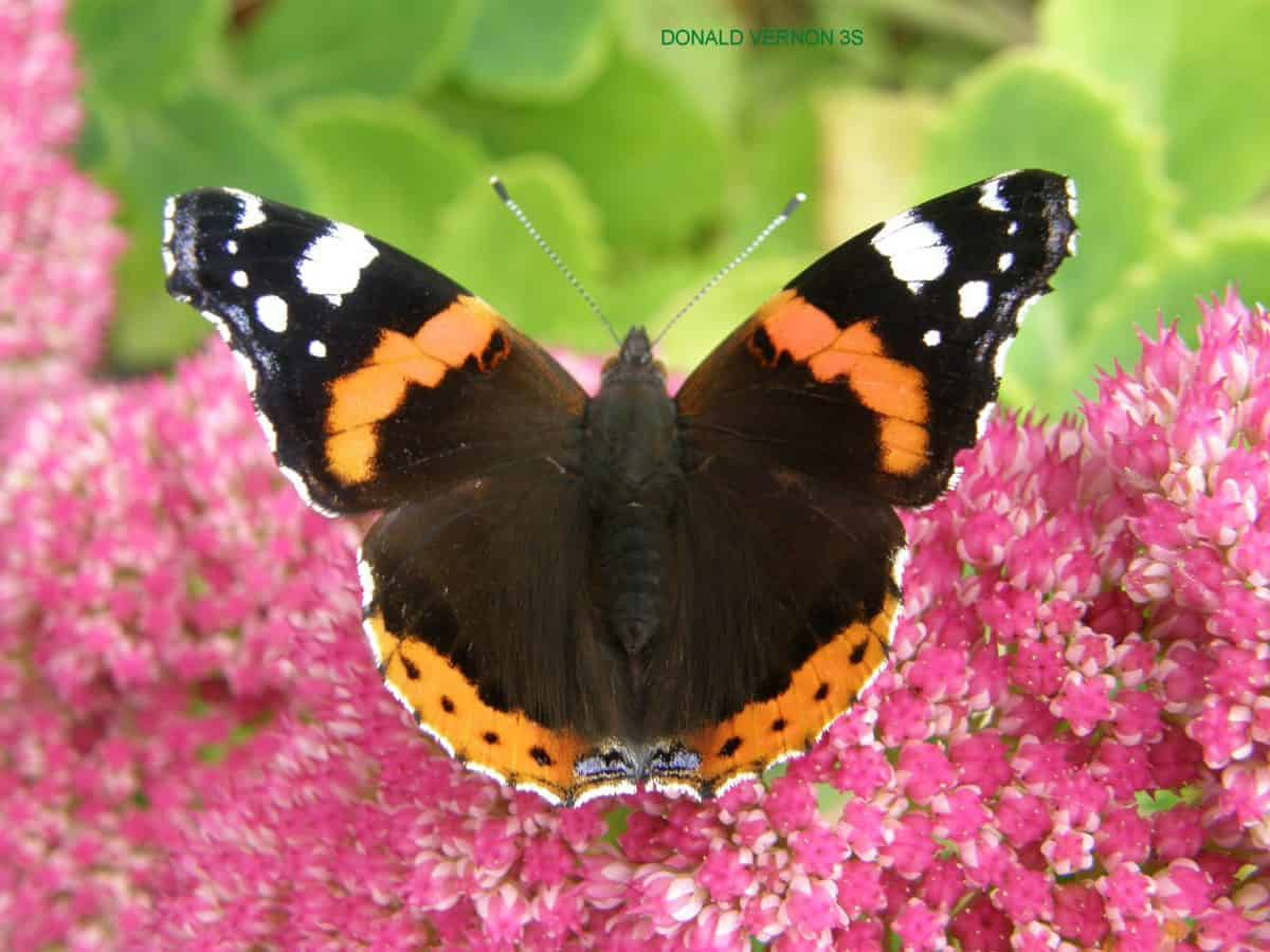 Red Admiral on sedum.