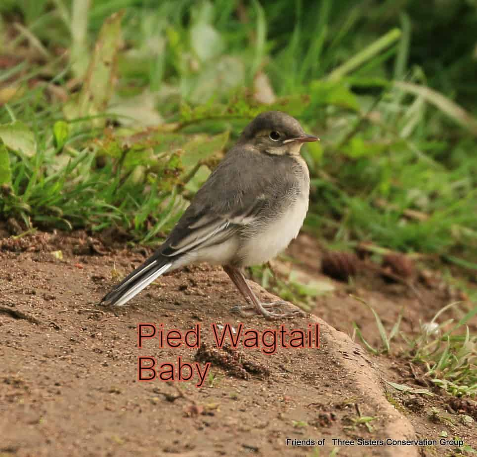 Pied Wagtail, baby.