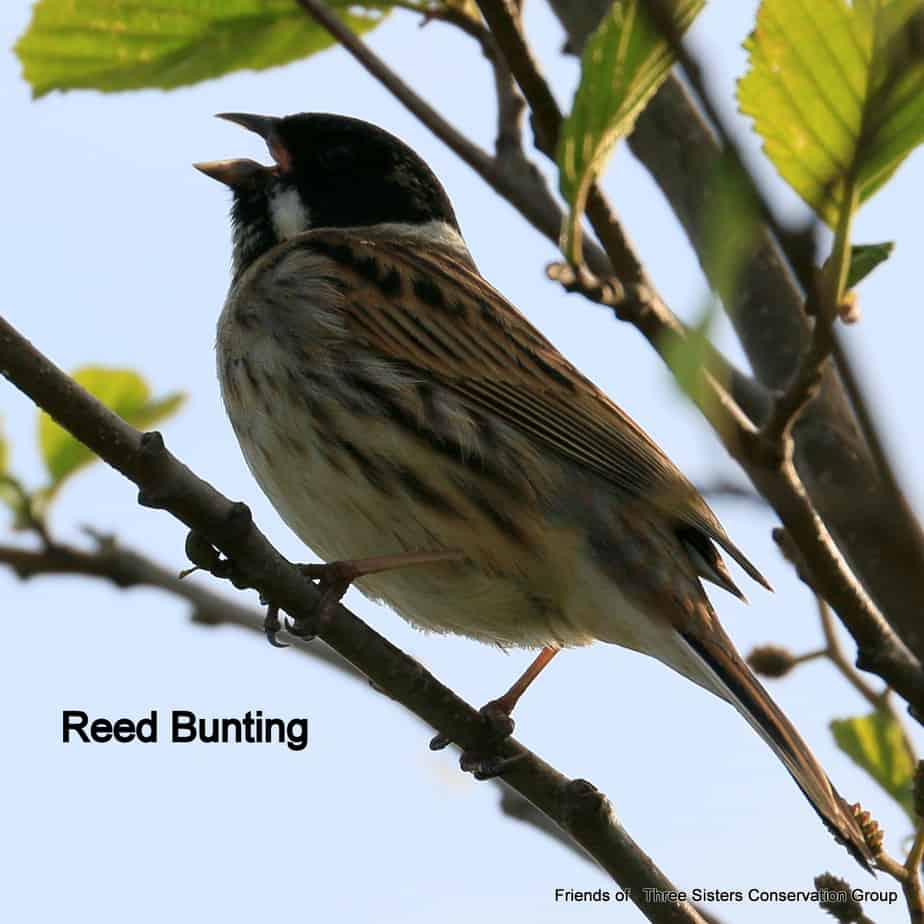 Reed Bunting perching