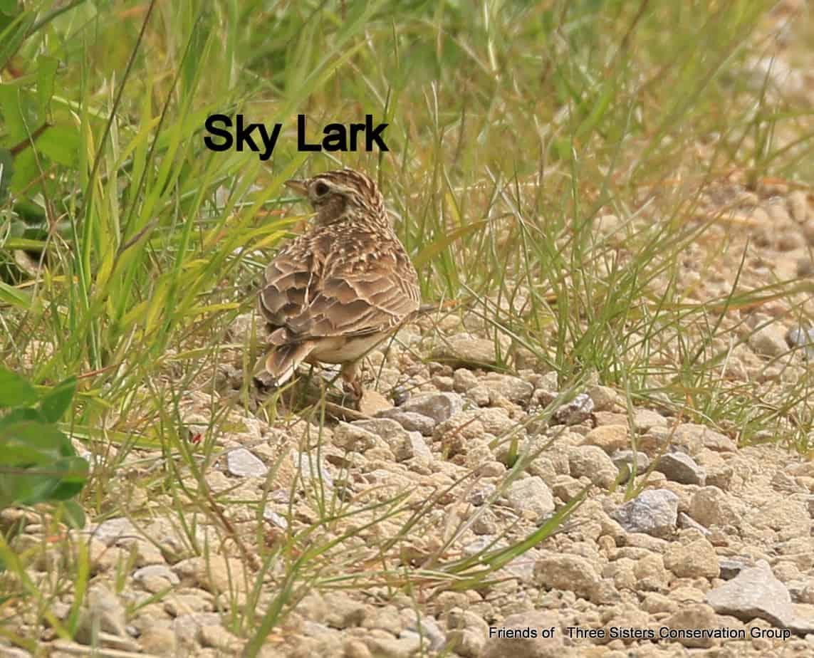 Sky Lark