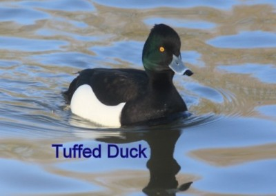 Tuffed Duck