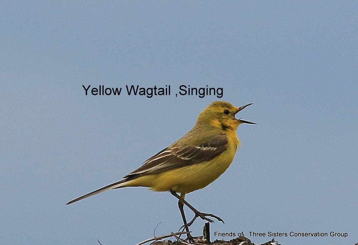 Yellow Wagtail, singing.
