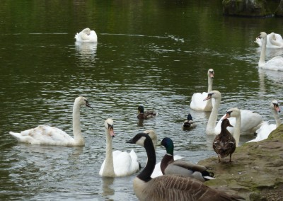Swans and Canada Geese.