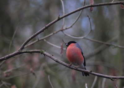 Bullfinch Male.