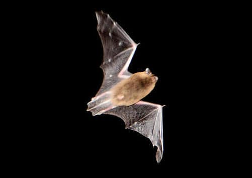 Bat in Sky