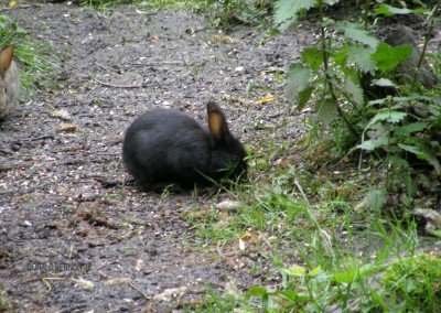 The Black Rabbit!