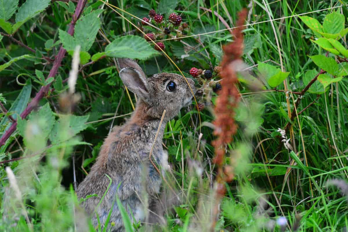Brambles for the Rabbit