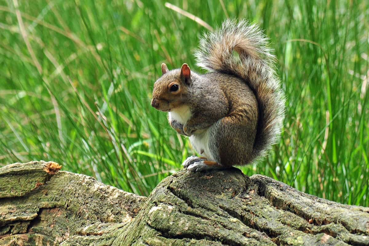 Grey squirrel on log