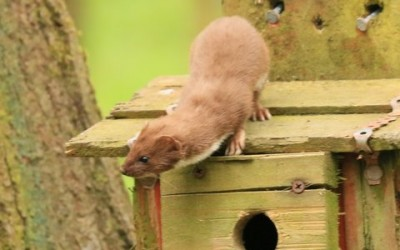 Stoat or weasel?