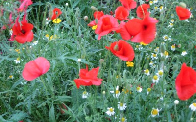 2015-August-Look at our poppies!