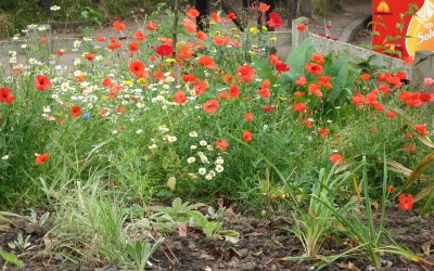 2015-September 10th- The poppies are still a wonderful sight.