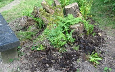 2016 – May – Ferns start to grow in the stump garden.